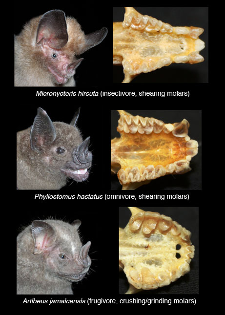 Three bat species and their tooth types. image taken from http://smithsonianscience.org/2011/02/for-chomping-insects-to-fruit-form-follows-function-in-bat-teeth/